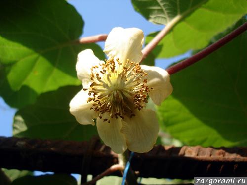 Цветок киви-фото
