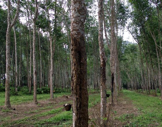 как растет каучуковое дерево