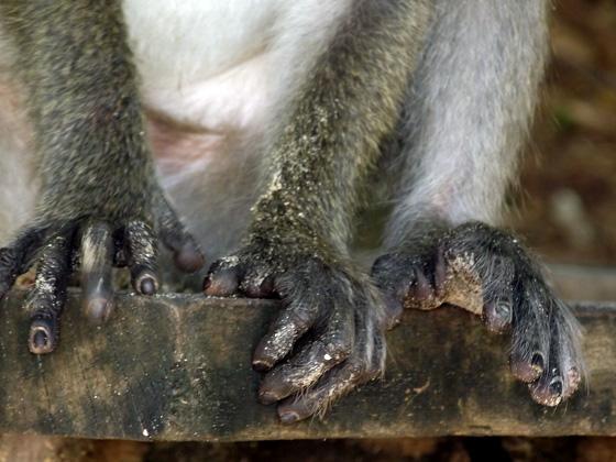 Ногти обезьяны