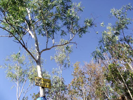 деревья, похожие на эвкалипты. Таиланд