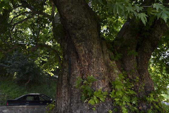 900-летнее дерево в Телави
