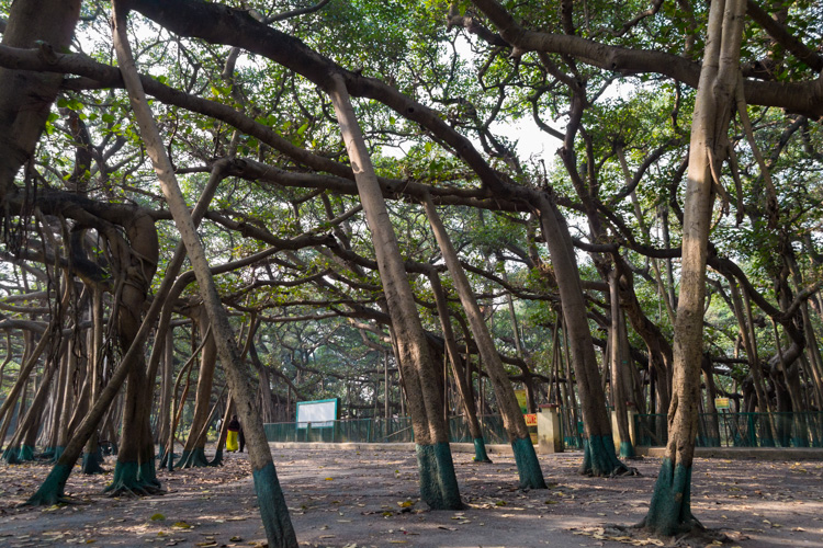 The Great Banyan, Kolkata