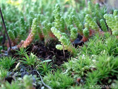 мох и очиток
