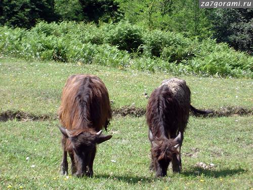буйволята
