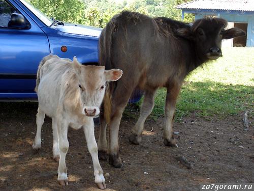 телёнок и буйволёнок