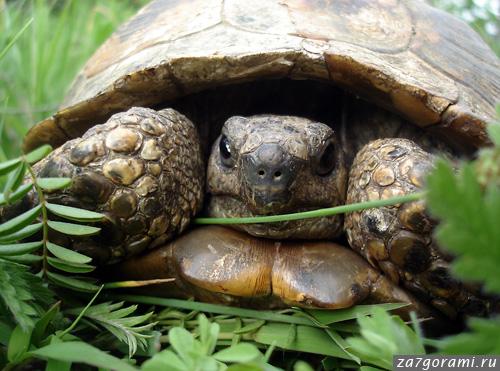 черепаха в природе
