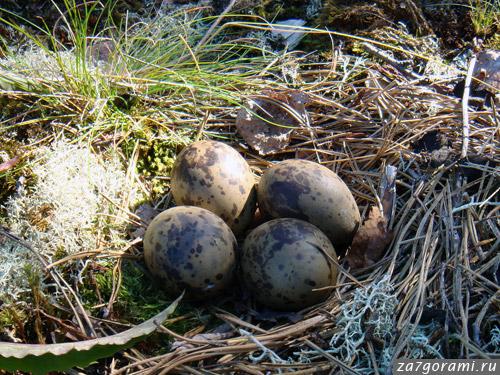 яйца крачки