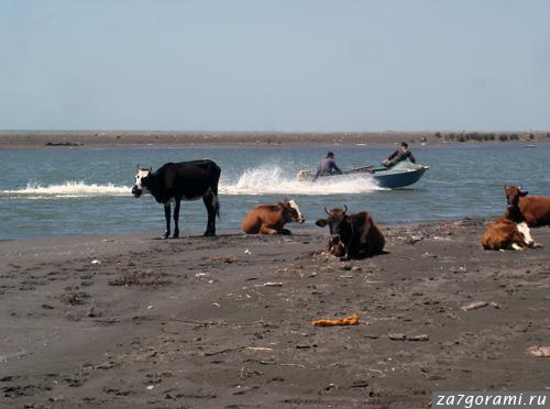 Коровы купаются в море