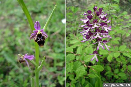 орхидеи в грузии