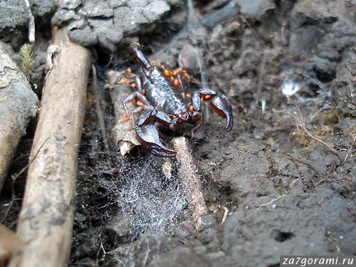 Скорпионы в природе