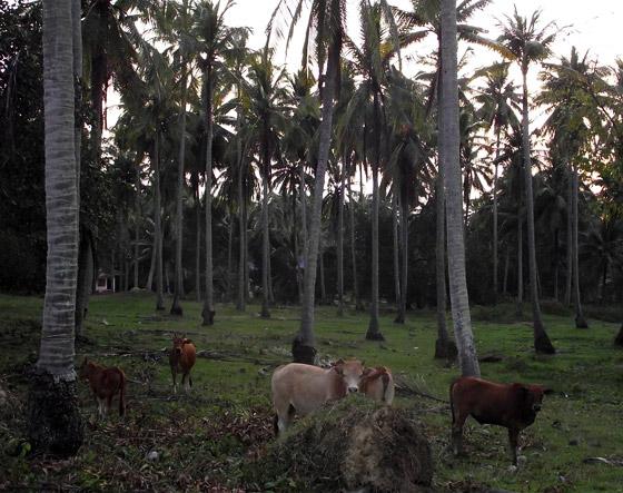 коровы под кокосовыми пальмами в Ао Нам Мао