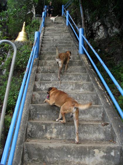 тайскик собаки