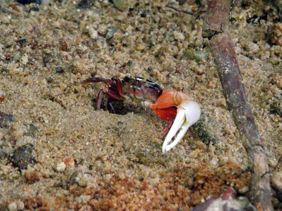 краб мангровых зарослей