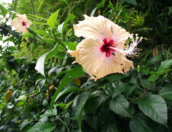 цветущий гибискус на улице в Краби