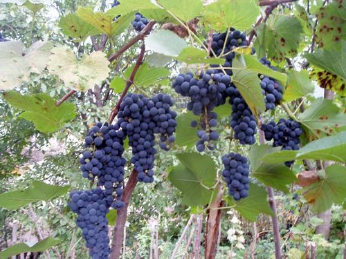 Грузия. Виноград