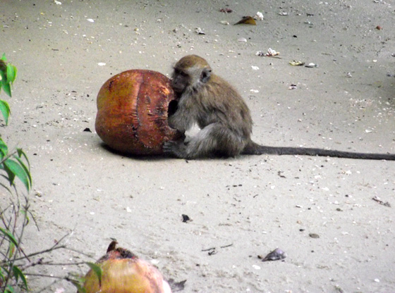 обезьяна и кокос