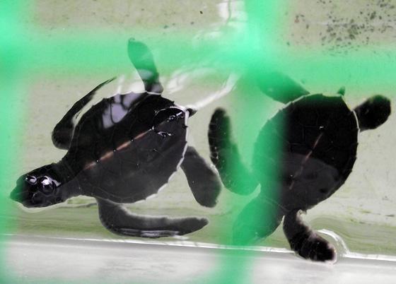 детеныши морской черепахи