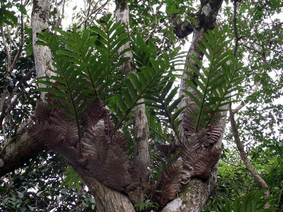 папоротники джунглей