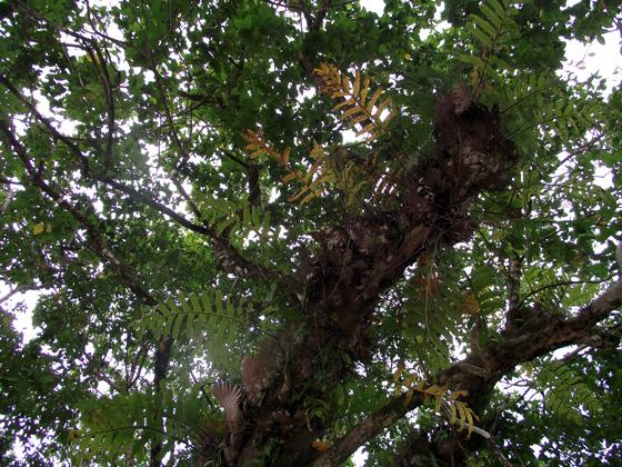 тропические папоротники