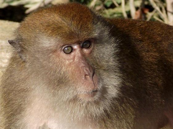 Фото агрессивной обезьяны
