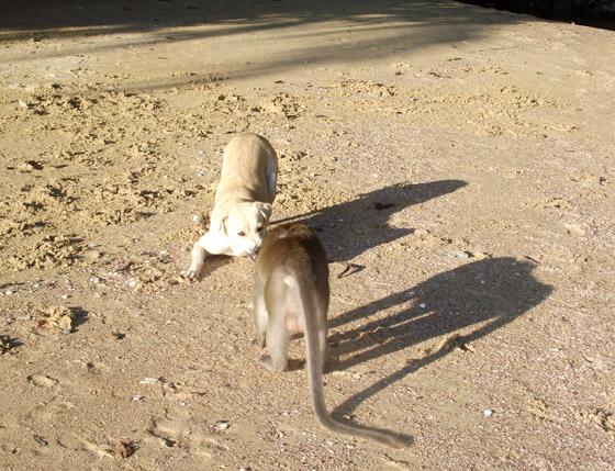 Собака против обезьяны, фото