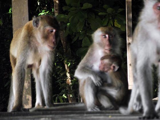 Самец и детеныш обезьяны