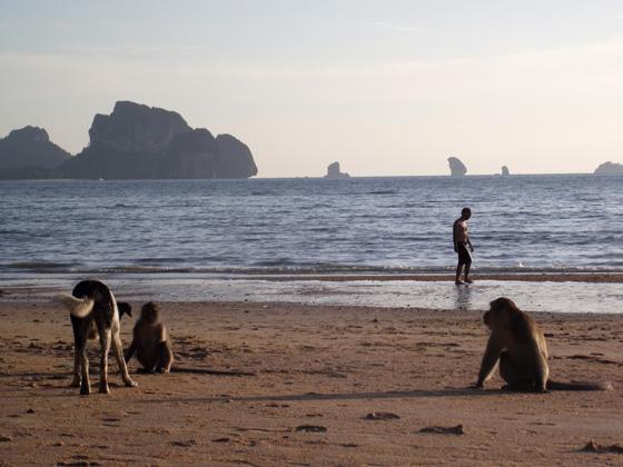 Обезьяны на пляже, Тайланд
