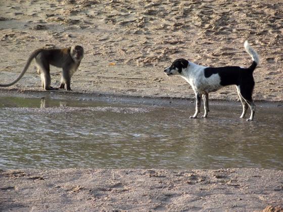 Собака против самца обезьяны