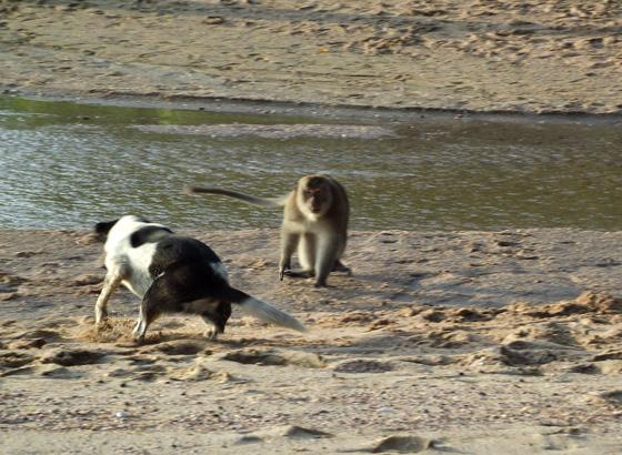 Обезьяна и собака дерутся