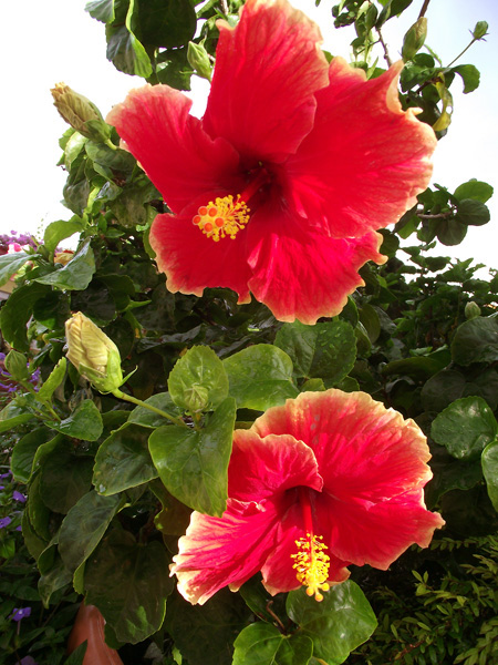 китайская роза, малайзия