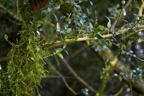 самшит во мху, лес под гелати