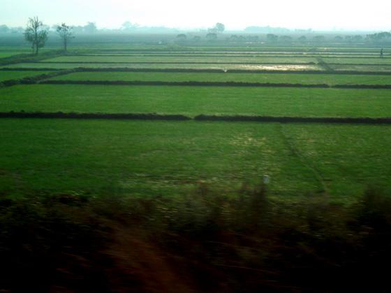 рисовые поля в таиланде