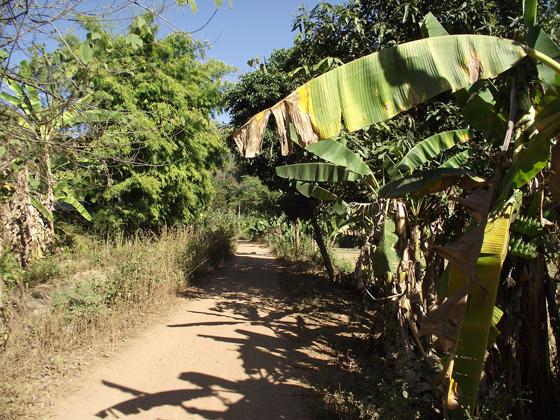 бабановые пальмы в таиланде