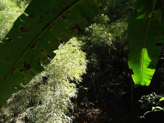 дикорастущие бамбук и бананы