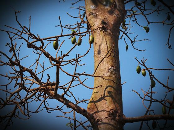 дерево с необычными фруктами