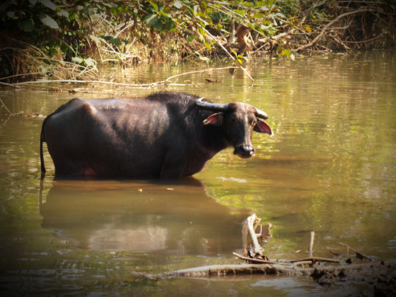буйвол в лаосе