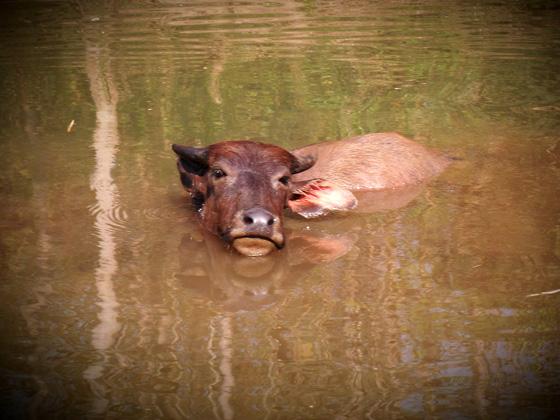 корова в лаосе