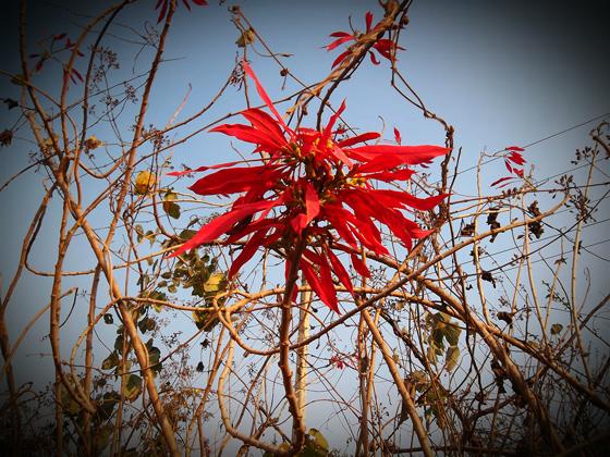 экзотический красный цветок