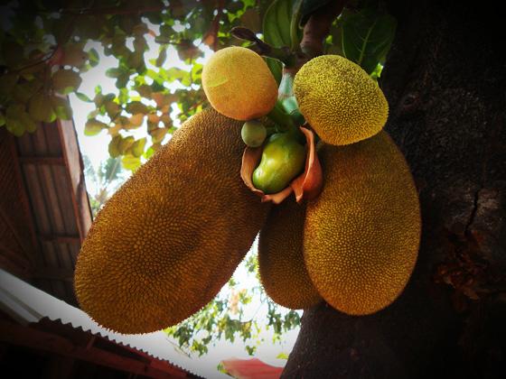 джекфрут в лаосе