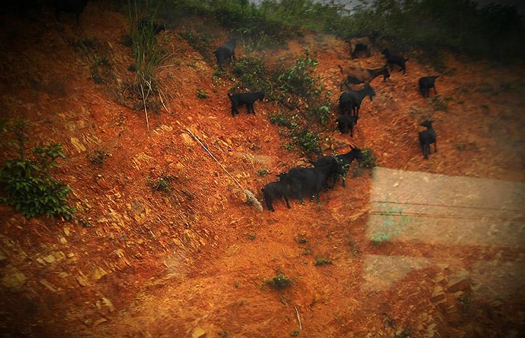 чёрные козы