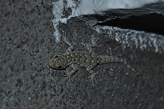 геккон в болгарии