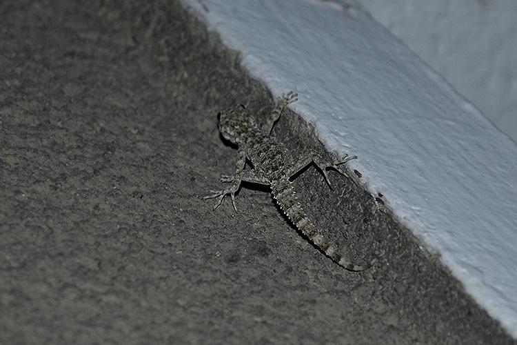 геккон средиземноморский