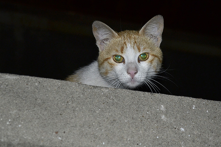 рыжий кот в ночи