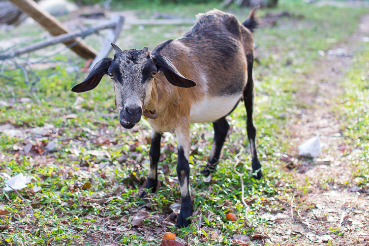 коза, каримунджава