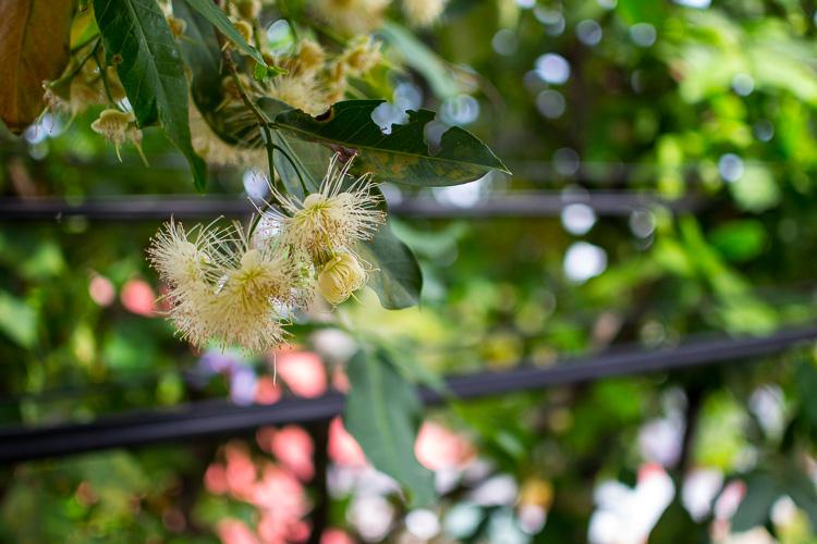 яванское яблоко, цветы
