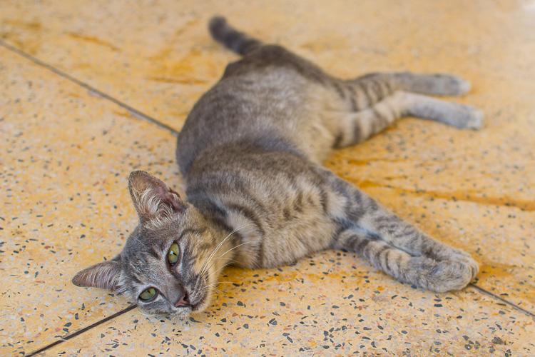 лаосский кот
