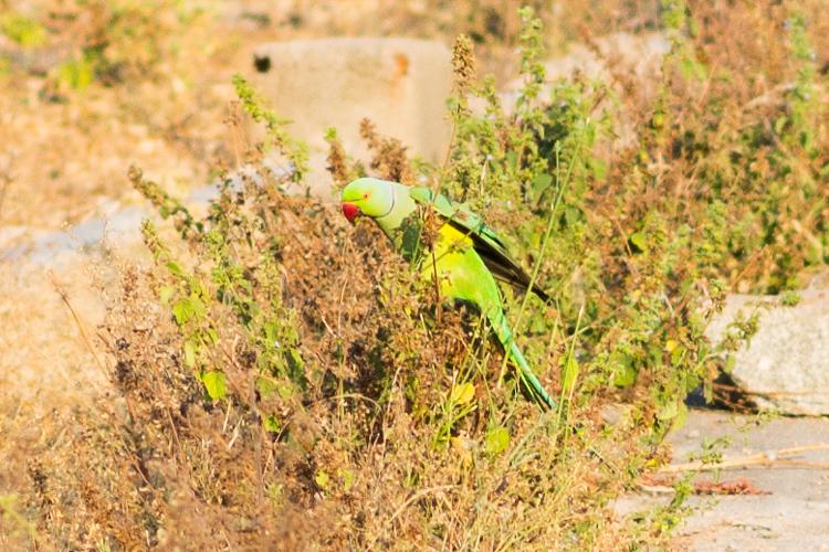попугай в Хампи