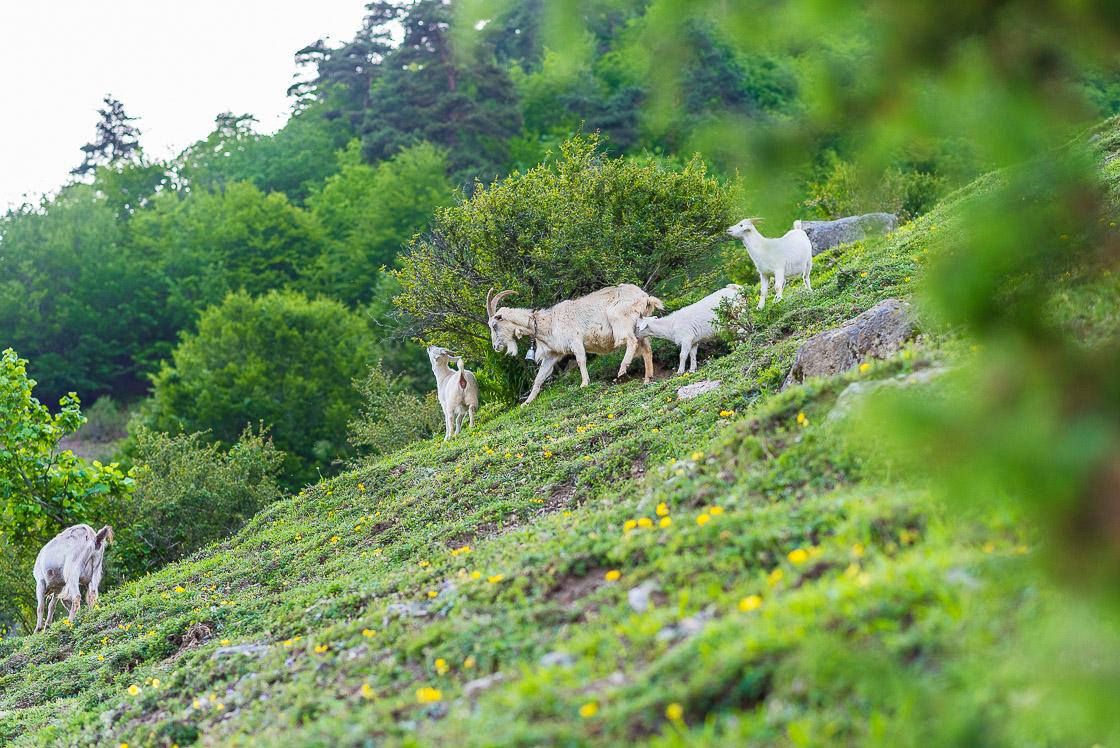 семья коз в горах