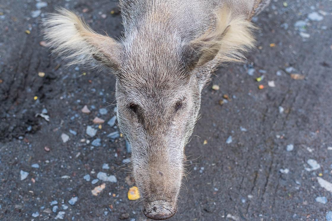 сванская свинья