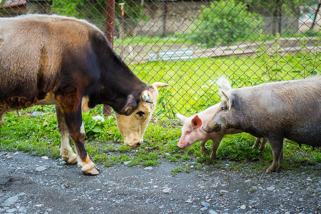 бык и семья свиней